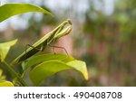 green praying mantis  mantis... | Shutterstock . vector #490408708