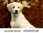 Happy Puppy Golden Retriever...