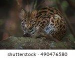 Leopard Cat Male Close Up In...