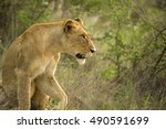 African Lioness Looking Alerted ...
