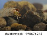 Small photo of LEAF CASE CADDIS (Leptoceridae). These caddis larvae stiitch a leaf into a case. size 18mm