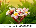 frangipani flowers close up... | Shutterstock . vector #490707556