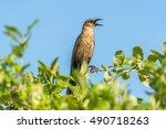 a male thrush bird singing on a ... | Shutterstock . vector #490718263