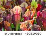 Exotic flower. Carnivorous pitcher plants