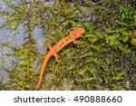 Red Eft. The Juvenile Stage O...