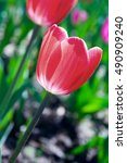 Small photo of Red (pink) tulip close up o the flowerbed alight by sunlight.