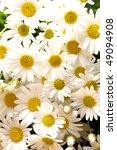 close ups of white marigold...   Shutterstock . vector #49094908