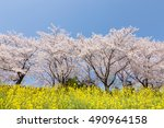 a cherry tree and rape | Shutterstock . vector #490964158