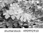 Small photo of Macro of adiantum philippense or maidenhair fern growing in flower garden - black and white style pictures