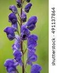 Small photo of Macrophotography of a wild flower - (Aconitum napellus)