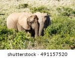 african bush elephants | Shutterstock . vector #491157520