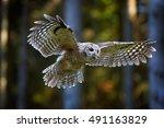 Tawny Owl  Strix Aluco In First ...