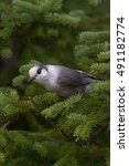 Small photo of Gray jay perched in tree in Algonquin Park
