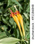 Small photo of Basket Plant (Aeschynanthus speciosus) in greenhouse, Moscow region, Russia