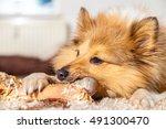 shetland sheepdog chews a pig...   Shutterstock . vector #491300470