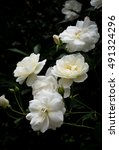 Stock photo bunch of white pygmy rose rosa chinensis in nature 491324296