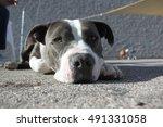 cute pit bull face | Shutterstock . vector #491331058