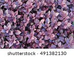 Small photo of Purple foliage from a plant called Alternanthera