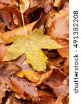 Small photo of Dry yellow acer leaf on the forrest floor in the autumn