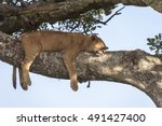 Lion Cub Resting  Sleeping On ...