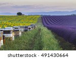 bee hives on lavender and... | Shutterstock . vector #491430664