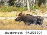 Small photo of Bull Moose (Alces alces) on edge of a pond in autumn in Algonquin Park