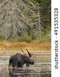 Small photo of Bull Moose (Alces alces) grazing in a pond in autumn in Algonquin Park