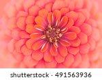 close up of a beautiful orange... | Shutterstock . vector #491563936