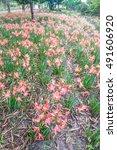 Small photo of Hippeastrum johnsonii Bury flower or Amaryllidaceae flower, Amnat Charoen Province, Thailand.
