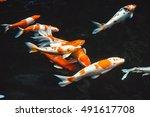 Abstract Swimming  Koi Carp...