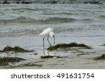 Snowy Egret Eating Sea Grass O...