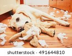 Stock photo naughty dog home alone yellow labrador retriever destroyed the plush toy and made a mess in the 491644810