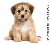 Stock photo cute havanese puppy dog is sitting frontal and looking at camera isolated on white background 491656978