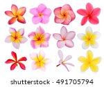 set of frangipani flowers...   Shutterstock . vector #491705794