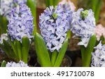 Flowering Blue Hyacinth ...
