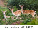 Three Deer Watching
