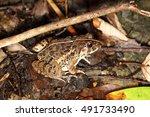 rana limnocharis | Shutterstock . vector #491733490
