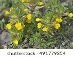 Small photo of Ground-pine or Yellow Bugle - Ajuga chamaepitys Mediterranean Wild Flower