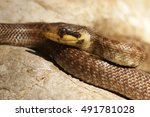 Small photo of Aesculapian snake