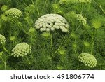 Small photo of Healing Ammi majus