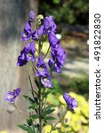 Small photo of Chinese aconite (Aconitum carmichaelii). In traditional Chinese medicine it is considered a medicinal plant. All parts of this plant are extremely toxic