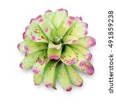 Small photo of Bromeliad Scientific name Aechmea fasciata isolated on white background with clipping path.