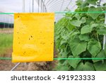 yellow insect glue trap... | Shutterstock . vector #491923333