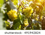 ripe white grapes on vine... | Shutterstock . vector #491942824