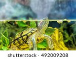 Red Eared Sliders In The...
