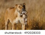Stock photo lion mother carrying her baby in a new hiding place in masai mara kenya 492028333