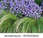 ornamental grass and purple... | Shutterstock . vector #492033463