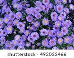 mass of purple fall aster... | Shutterstock . vector #492033466