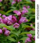 lip like flowers of pink... | Shutterstock . vector #492033589