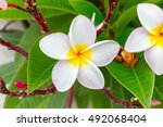 Close Up Plumeria Flower.cute...
